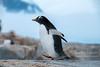 Waddling gentoo penguin in Antarctic