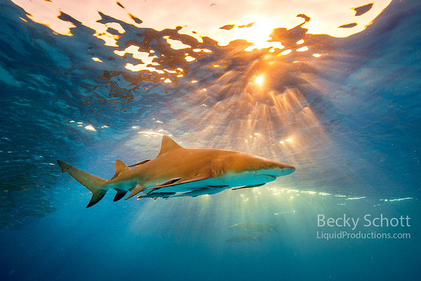 Lemon shark sunset