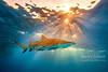 Lemon shark sunset