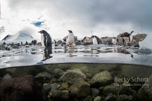 Gentoo Penguins entering the water on Port Lockroy Antarctica