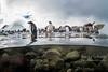 Gentoo Penguins entering the water on Port Lockroy Antarctica