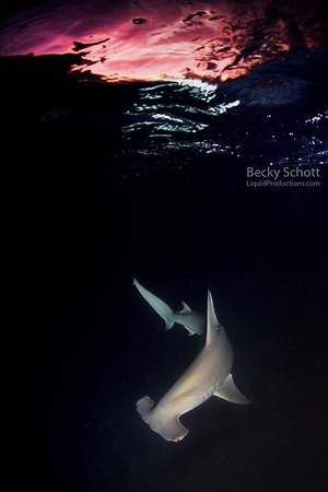 Hammerhead shark at sunset