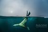 Stellar sea lion jump