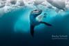 Antarctic Leopard Seal under ice