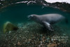 Antarctic Crabeater seal in the shallows