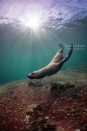 Stellar sea lion plays