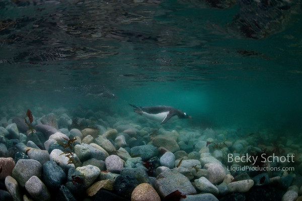 Gentoo Penguins zip around underwater with ice in the background