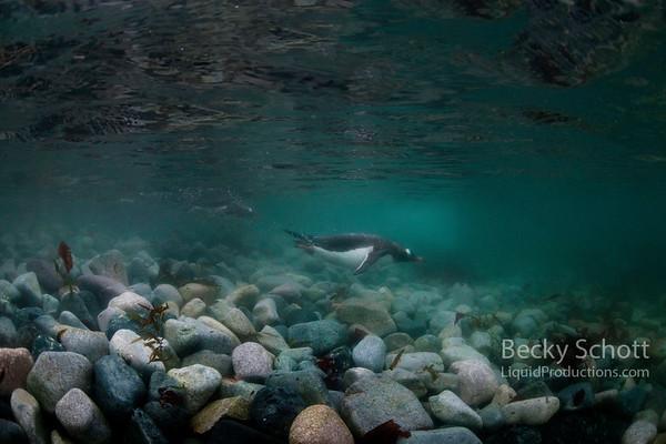Gentoo Penguins zip around underwater with ice in the background