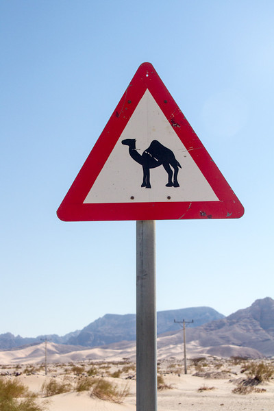 Camel Crossing in Jordan.
