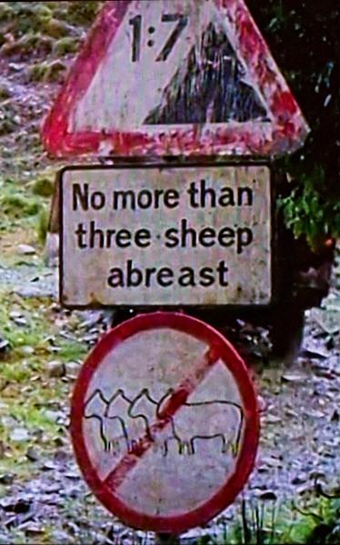 No more than three sheep abreast