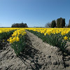 Skagit Valley Daffodil flowers....