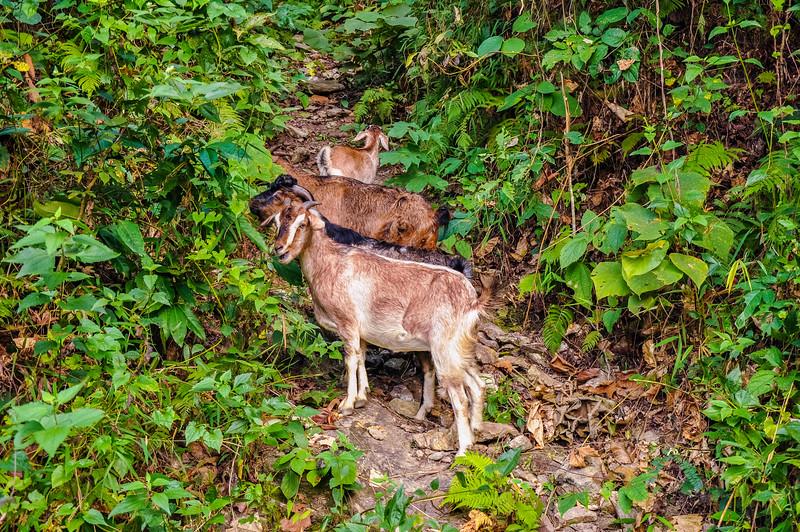 Sikkim Walk Hike from Glenburn Tea Estate