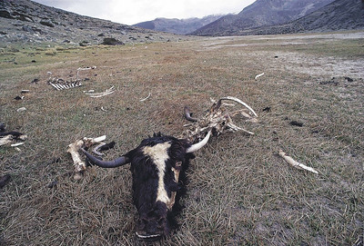 The yak graveyard on the way to Chorten Nyima La - the border with Tibet