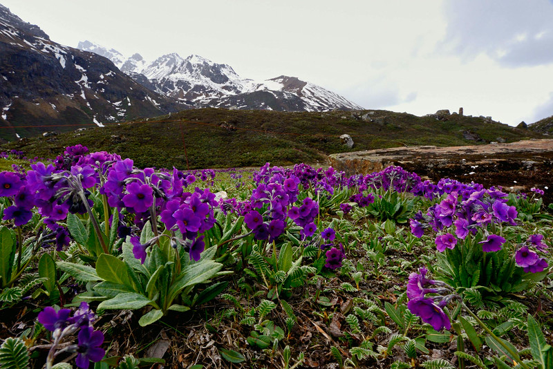 Primulas in a meadow below Yume Samdong in North Sikkim, altitude around 14,200 feet