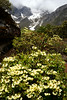 Rhododendron campylocarpum blooms in the Yumthang valley in mid June