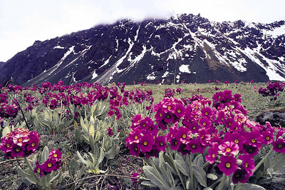 Primulas below the Lhonak La pass in June 1987 on the trail between Thangu and Muguthang, North Sikkim