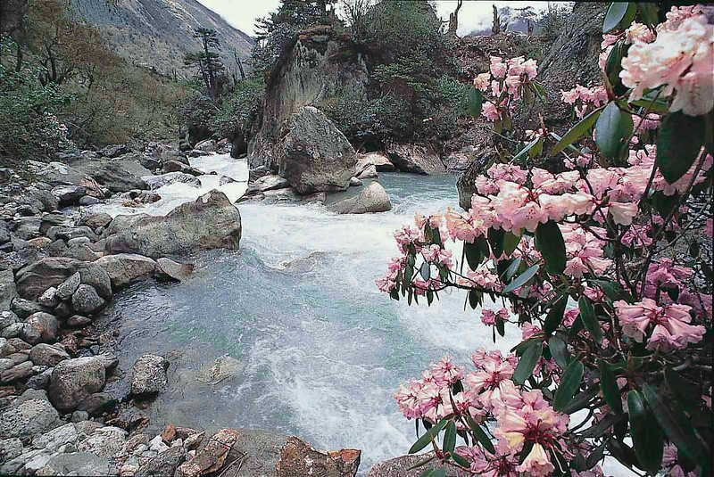 Rhododendron walichii on  the banks of the Teesta near Thangu, North Sikkim June 1987