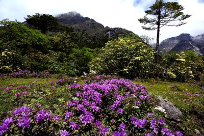 Rhododendron setosum in the foreground - Rhododedron campylocarpum (yellow) in the background - Yumthang valley