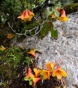 Rhododendton cinnabarium near Yumthang, North Sikkim