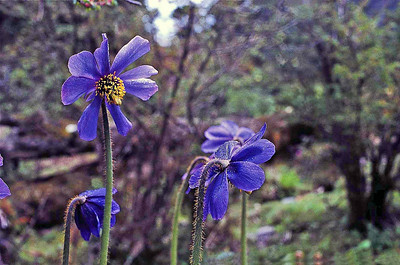 The Himalayan Blue Poppy Meconopsis Horridula flowers on a meadow between Yumthang and Yume Samdong (South) - June 1987