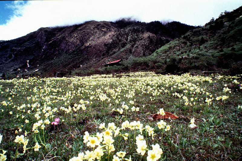 Primulas on the high pastures above Thangu, North Sikkim