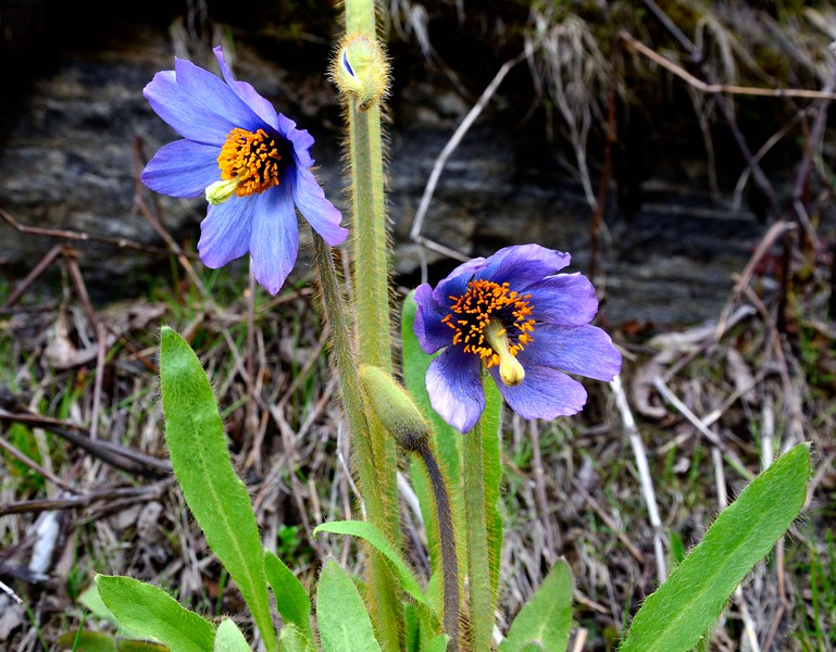 The Himalayan Blue Poppy - altitude around 14,200 feet Yume Samdong valley, North Sikkim