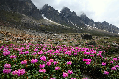 Rhododendron campanulatum - Yume Samdong  valley around 14,000 feet altitude