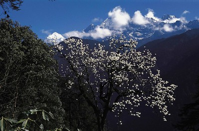 Magnolia blossoms in spring near Tsokha on the Dzongri trail. Pandim and Jobonu in the background