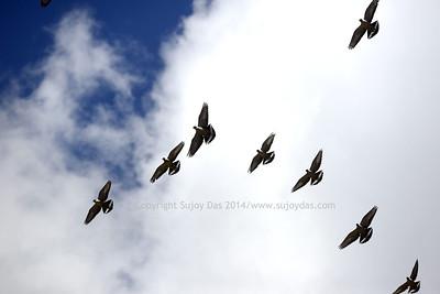 Snow pigeons near Jakthang