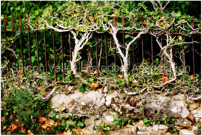 Iron fence with winding shrubs at St. John's Cemetery in San Mateo, California