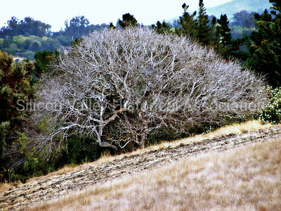Barren tree at the Pearson Arastradero Preserve in Palo Alto, California