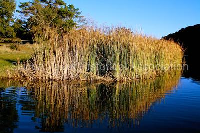 Cattail in Boronda Lake at Foothills Park in Palo Alto, California