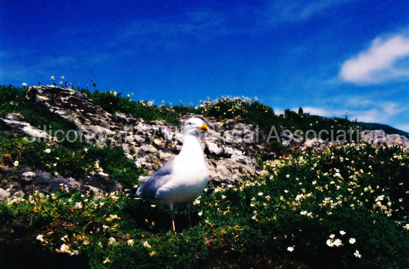 Seagull standing in ice plants in San Francisco, California