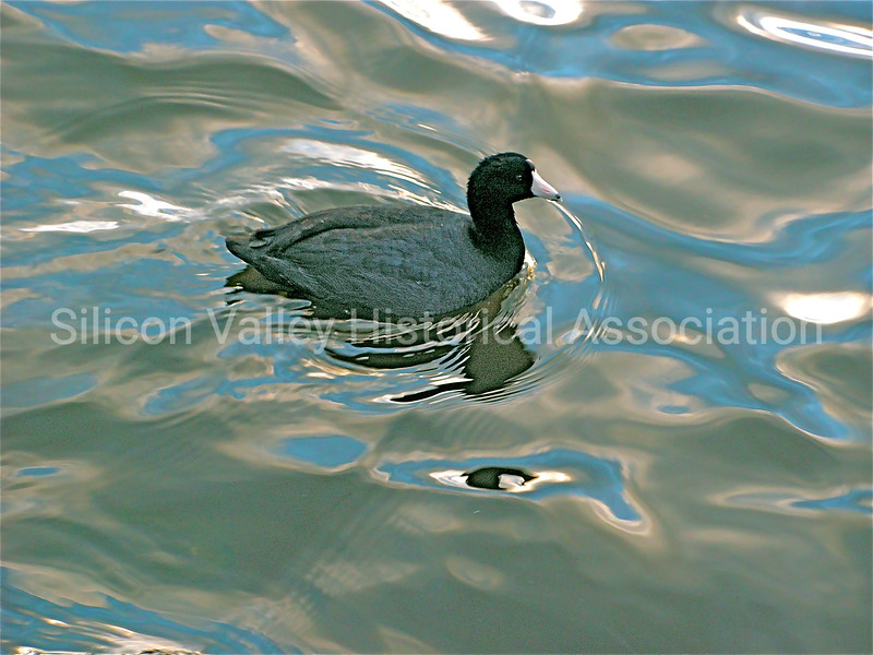American Coot in the Palo Alto Duck Pond