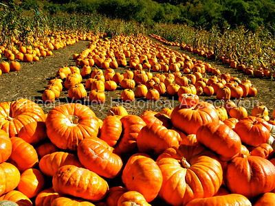 Orange Pumpkins in a Half Moon Bay Pumpkin Patch