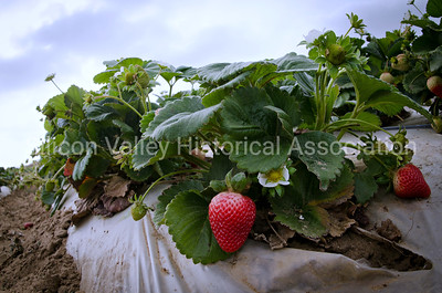 Strawberries on a farm near Castroville, California