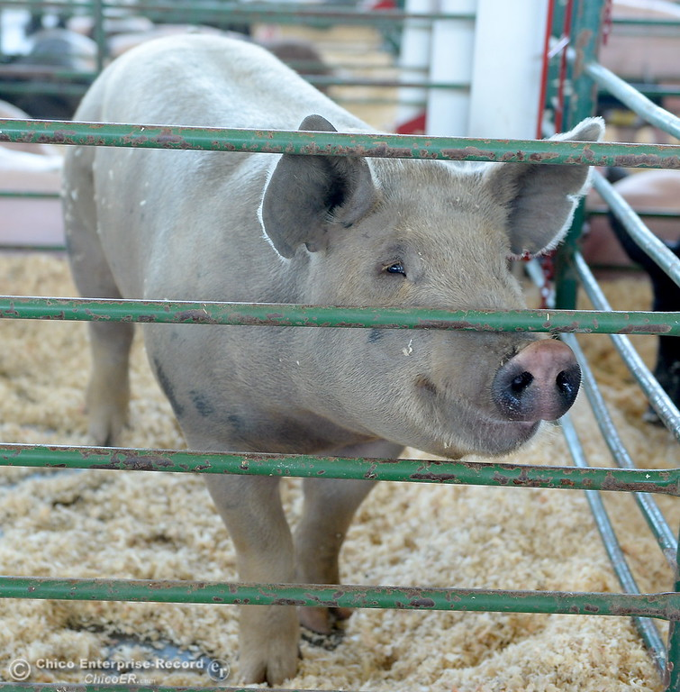 . A hog appears to smile as things get underway at the Silver Dollar Fairgrounds in Chico, Calif. Tues. May 22, 2018.  (Bill Husa -- Photos)