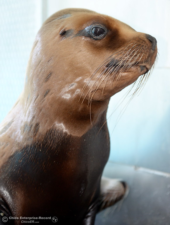 . A Sea Lion show will be part of the fun this year as things get underway at the Silver Dollar Fairgrounds in Chico, Calif. Tues. May 22, 2018.  (Bill Husa -- Photos)
