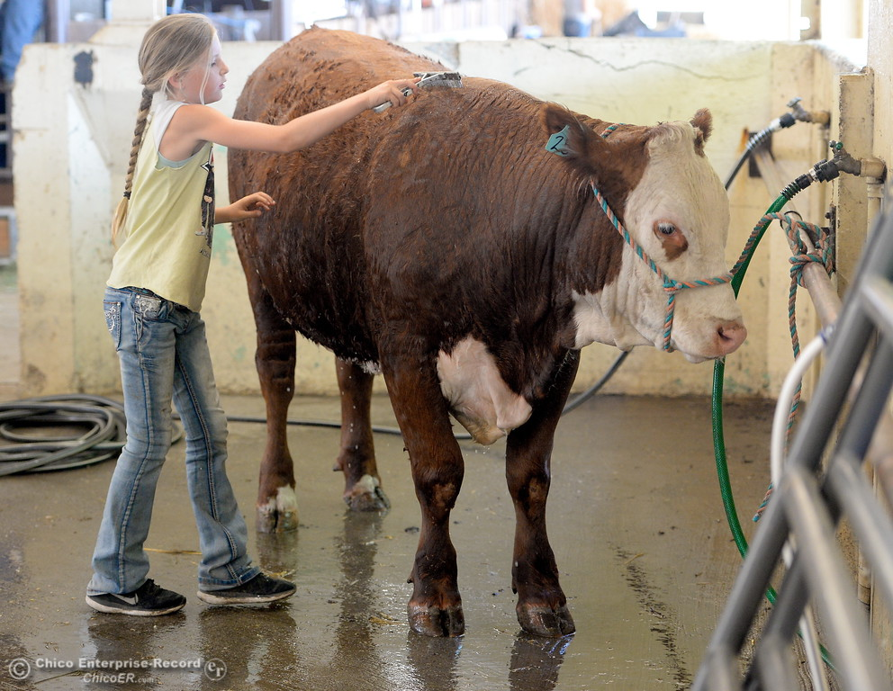 . 11-year-old Haylie Jewett washes her Shasta 4-H steer as things get underway at the Silver Dollar Fairgrounds in Chico, Calif. Tues. May 22, 2018.  (Bill Husa -- Photos)