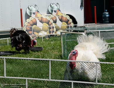 "Racing turkeys ""Gobbles The Hut"" left and Turkulese at right strut around the track as things get underway at the Silver Dollar Fairgrounds in Chico, Calif. Tues. May 22, 2018.  (Bill Husa -- Photos)"
