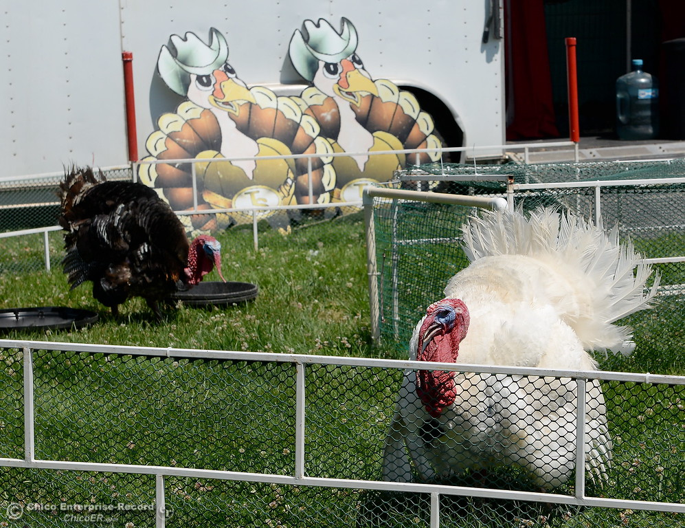 ". Racing turkeys ""Gobbles The Hut\"" left and Turkulese at right strut around the track as things get underway at the Silver Dollar Fairgrounds in Chico, Calif. Tues. May 22, 2018.  (Bill Husa -- Photos)"