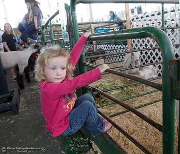 Haddyson McLean, 3,  hangs on a fence as see looks and tries to pet the baby goats at the Silver Dollar Fair Tuesday May 24, 2016 in Chico, Calif. (Emily Bertolino -- Enterprise-Record)