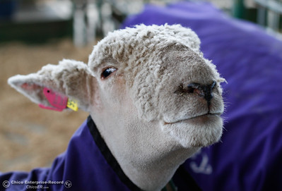 A sheep shows of it's new haircut at the Silver Dollar Fair Tuesday May 24, 2016 in Chico, Calif. (Emily Bertolino -- Enterprise-Record)