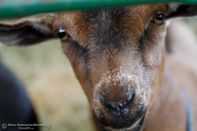 A curious goat in the livestock area at the Silver Dollar Fair as fair preparation carries on Tuesday May 24, 2016 at the Silver Dollar Fairgrounds in Chico, Calif. (Emily Bertolino -- Enterprise-Record)