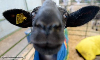 A sheep wants a closer look at that camera lens as things get underway at the Silver Dollar Fairgrounds in Chico, Calif. Wednesday May 25, 2016. (Bill Husa -- Enterprise-Record)