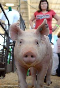 """4-H market hogs are shown and judged as things get underway at the Silver Dollar Fairgrounds in Chico, Calif. Wednesday May 25, 2016. Here, Patience Hervey of Chico walks behind her son Ted Hervy's hog """"Brutus."""" (Bill Husa -- Enterprise-Record)"""