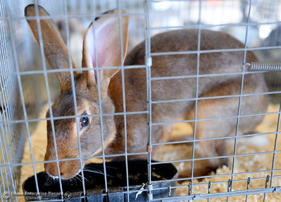 A rabbit gets a drink of water in it's cage as things get underway at the Silver Dollar Fairgrounds in Chico, Calif. Wednesday May 25, 2016. (Bill Husa -- Enterprise-Record)