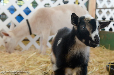 Baby goats are among some of the super cute things to see as things get underway at the Silver Dollar Fairgrounds in Chico, Calif. Wednesday May 25, 2016. (Bill Husa -- Enterprise-Record)