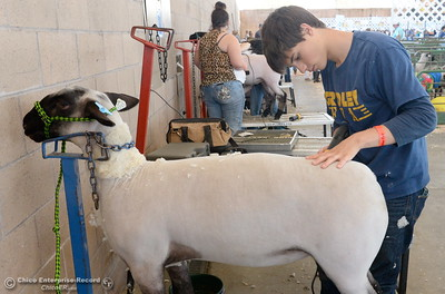 Angelo Morales, a Senior at Gridley High shears his sheep as things get underway at the Silver Dollar Fairgrounds in Chico, Calif. Wednesday May 25, 2016. (Bill Husa -- Enterprise-Record)