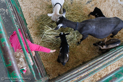 Haddyson McLean, 3, stretches to pet a baby goat as the goat and it's family feeds on some hay as preparation for the Silver Dollar Fair ensues Tuesday May 24, 2016 in Chico, Calif. (Emily Bertolino -- Enterprise-Record)